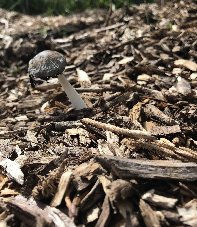A Mushroom growing in wood chips